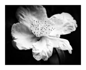 Camellia-Monochrome-3